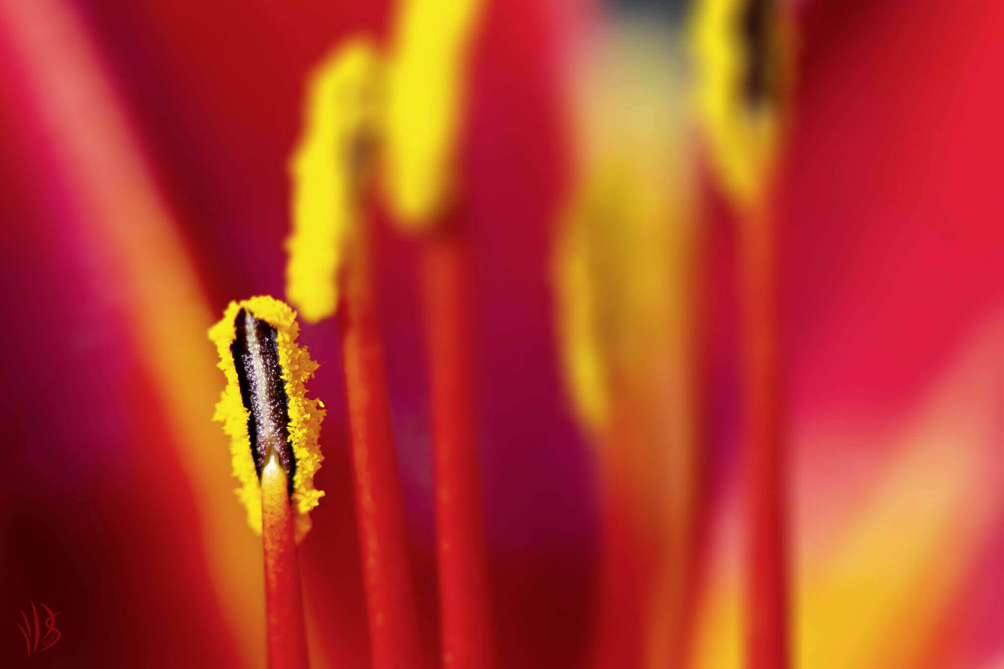 Blütenstempel mit Pollen
